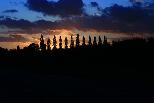 Poplar Trees and Sunset