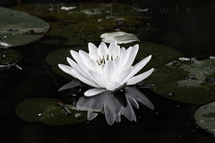 Water Lily (ms2thdr) Tags: ri waterlily wickford canon14xteleconverter egyptianlotus canon300mmf40l silverefexpro canon5dmii nikplugins