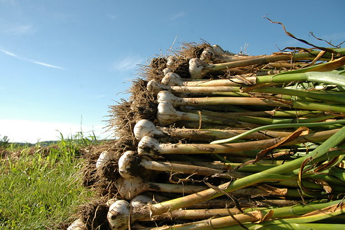 wherein we harvest a small mountain of garlic.
