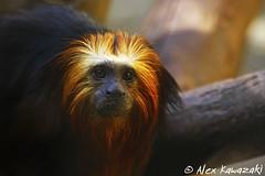 Arisco (Alex Kawazaki) Tags: alex animal monkey mono ape macaco zoológico primate simio kawazaki primata leontopithecus micoleãodecaradourada zoológicosp griman chrysomelas
