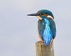 Evening Kingfisher (Andrew Haynes Wildlife Images) Tags: bird nature wildlife kingfisher warwickshire brandonmarsh canon7d ajh2008 carltonhide