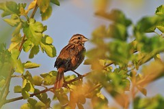 (pmarella) Tags: park morning trees color tree bird nature newjersey wildlife nj sparrow viewlarge pmarella donttrythisathome hudsoncounty amomentintime throughmyglasseye ef100400mmf4556lisusm riverviewpkproductions myeyeshaveseenthis eos7d