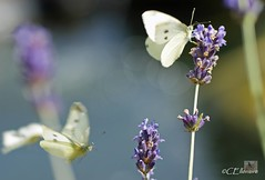 Großer Kohlweißling / Large White (Ellenore56) Tags: life light summer white inspiration color colour nature animal butterfly garden insect licht loop sommer sony natur lavender july philosophy cycle physics environment imagination mathematics juli alpha economic creature magical farbe insekt garten chaostheory leben tier ecological umwelt lavendel largewhite butterflyeffect pierisbrassicae lebewesen disambiguation turbulenzen kohlweisling schmetterlingseffekt chaostheorie groserkohlweisling dslra350 sonyalphadslra350 philosofi ellenore56 13072010 dynamicl