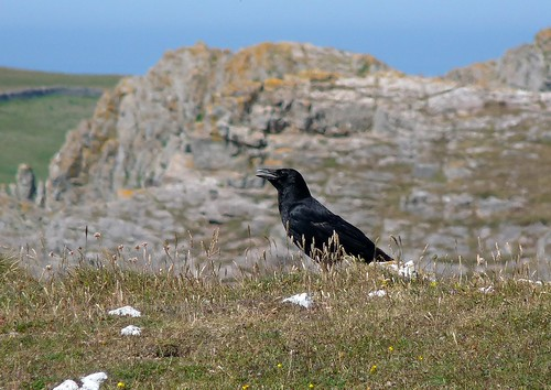 22061 - Raven at Thurba Head, Gower