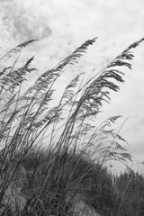 Sea oats - vertical (char1iej) Tags: bw beach canon eos 350d rebel xt dunes seaoats charliej