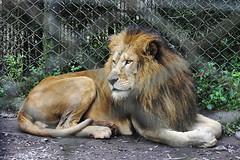 Lion - Zo Safari, SP (rogarrido) Tags: macaco tigre leo camelo lhama pavo hipopotamo simbasafari biso