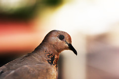 Desert dove!! (Osama Al-Sayegh) Tags: canon eos desert dove osama kuwait q8 450d   alsayegh osamaalsayegh osamaa