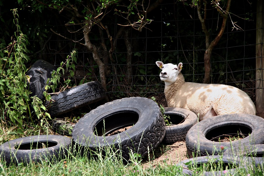 Sheep and Tyres