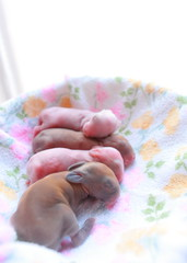 3 day old bunnies ( Spice (^_^)) Tags: pink orange pet baby white cute rabbit bunny bunnies art feet face animal japan canon geotagged nose photography eos interesting asia flickr babies colours image sensitive wor