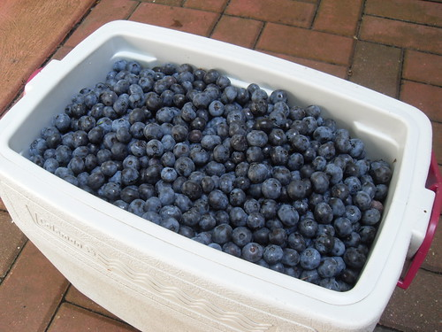 Freshly Picked Jersey Blueberries