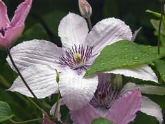 Clematis (schreibtnix on 'n off) Tags: flowers plants macro nature closeup blossom natur pflanzen clematis structures blumen waterdrops makro blüte wassertropfen strukturen mywinners naufnahme olympuse3