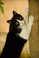Doda (Lorenzo Canestrari) Tags: pet cats animals cat kitten feline chat kitty gato katze gatto animali animalidomestici