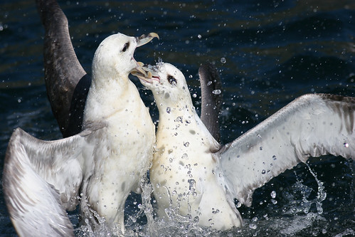 Fighting fulmars