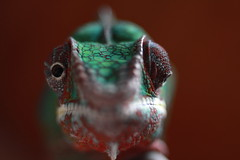 Jean-Luc (**MIKA**) Tags: feet mobile zeiss canon stereoscopic eyes m42 celia chameleon jeanluc biodiversity chamleon madagaskar 550d separately parrotlike biodiversitt zygodactylous dievino