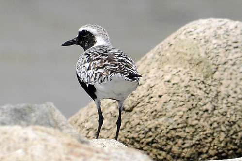 black-bellied plover on rocks