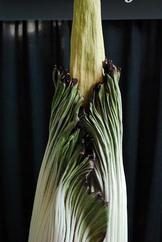 7.20.10 Amorphophallus titanum