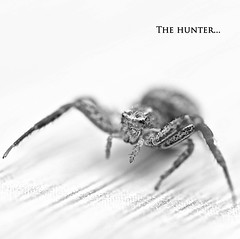 The hunter... (Thibault B Photography) Tags: camping sea wild blackandwhite mer white black france macro nature monster photoshop grenoble bug insect spider aperture nikon focus raw noir dof view noiretblanc bokeh map tripod micro hunter 60mm blanc vue sud closer manfrotto pdc macrophotography araign chasseur isre trepied nikkor60mm valras macrophotographie valrasplage manfrotto190xprob d300s chasseuse nikond300s