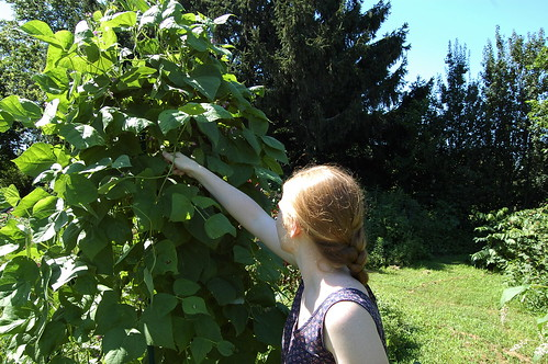 picking green beans