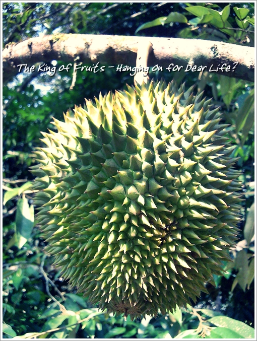 Durian on a tree