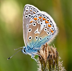 Common Blue (Andrew Haynes Wildlife Images) Tags: nature butterfly insect rugby warwickshire commonblue wildife sigma70mm draycotemeadows canon40d ajh2008