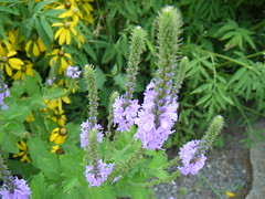 purple loosestrife? Photo