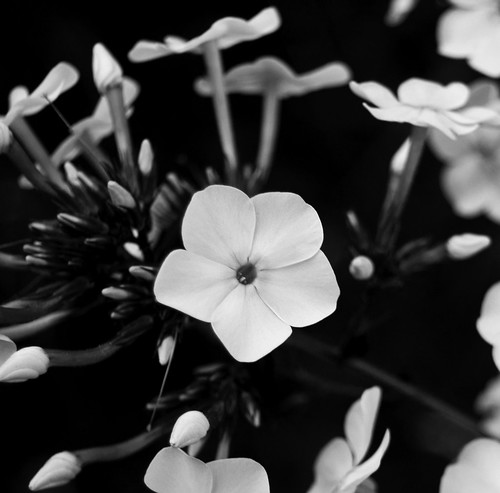Purple flower in black and white