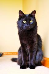 Flip loves this spot (LoveMeow) Tags: cats cat blackcat kitten kittens neko  cutecat blackkitty fluffycat beautifulkitty