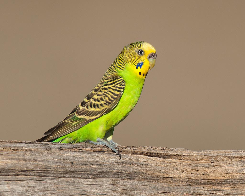 Всё о попугаях неразлучников - 991f4
