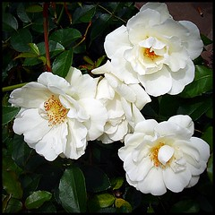 Rositas blancas (lacha2008) Tags: flowersarebeautiful excellentsflowers natureselegantshots mimamorflowers flickrflorescloseupmacros thebestofmimamorsgroups theoriginalgoldseal mixofflowers mygearandmepremium mygearandmebronze mygearandmesilver mygearandmegold flickrsportal mygearandmeplatinum floraandfaunaoftgeworld aboveandbeyondlevel4 rosesforeveryone aboveandbeyondlevel1 flickrstruereflection1 flickrstruereflection2 flickrstruereflection3 flickrstruereflection4 flickrstruereflection5 flickrstruereflection6 flickrstruereflection7 flickrstruereflectionexcellence aboveandbeyondlevel2 aboveandbeyondlevel3 rememberthatmomentlevel4 rememberthatmomentlevel1 rememberthatmomentlevel2 rememberthatmomentlevel3 rememberthatmomentlevel5