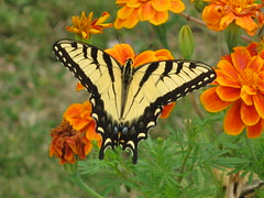 Tiger Swallowtail (Laramie_Coyote) Tags: nature yellow butterfly insect swallowtail tigerswallowtail yellowblack damniwishihadtakenthat worldnatureandwildlifecloseup worldnatureandwildlifehalloffame printedalready pogchallengewinners bestofdamn btglevel2 btglevel1 btglevel5 btglevel3 btglevel4