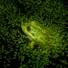 Green looking up from green (Mack2) Tags: green water leaves gteborg zoo leaf rainforest flash gothenburg frog blad vatten grn universeum 70210mm groda explora blixt sonya100 colorphotoaward minolta70210mm sonyflash regnskogen