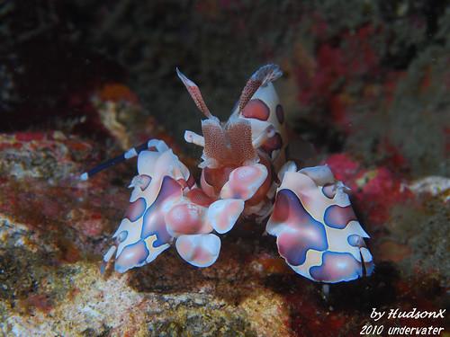 釉彩臘膜蝦 - 小紅