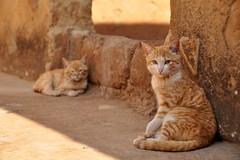 Cat Nap (Lauren Barkume) Tags: africa 2 two portrait orange white animal animals stone wall cat fur southafrica eyes sand kitten sleep tabby watch kittens rest laurenbarkume gettyimagesmeandafrica1