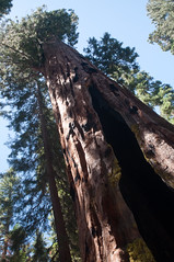 Sequoias Photo
