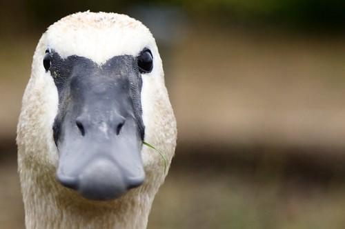 Icelandic swan