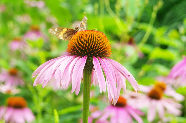 The butterfly and the echinacea