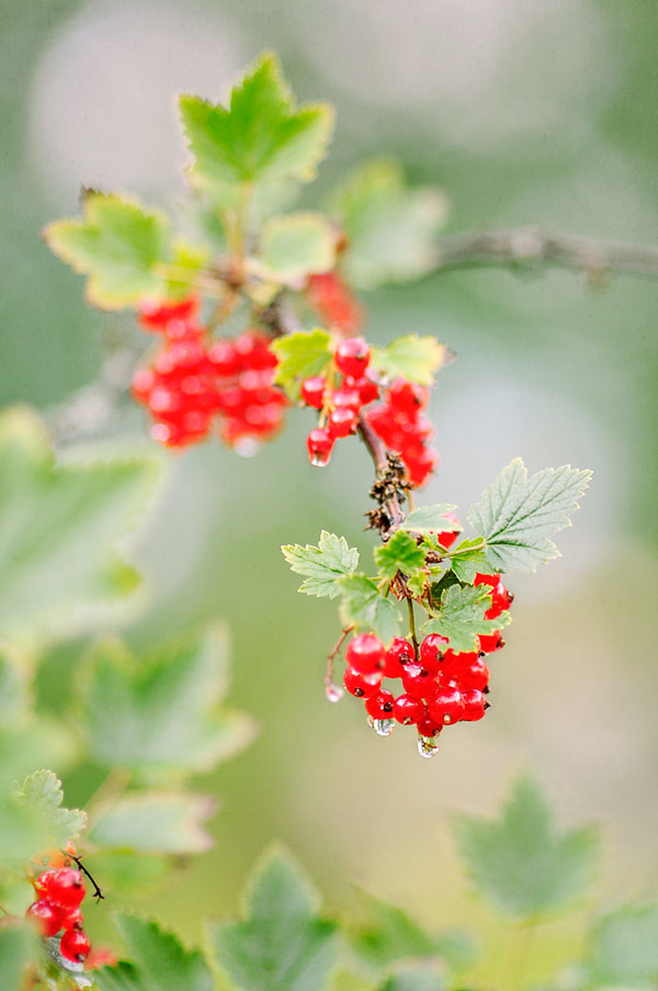 Red currants in rain