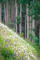 mountain wild II (bytegirl24) Tags: flowers field daisies hill blossoms meadow aspens wildflowers blooms aspenvista santafenationalforest
