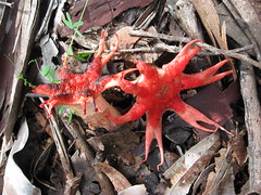Starfish Fungus and/or Sea Anemone Fungus (Aseroe rubra) (UON Library,University of Newcastle, Australia) Tags: australia fungi nsw newcastleuniversity mycology campux aseroerubra universityofnewcastle img6189 fabulousfungi starfishfungus seaanemonefungus callaghancampus