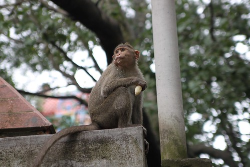 pics of monkeys eating bananas. Temple monkeys being totally stereotypical. Eating bananas and acting cheeky