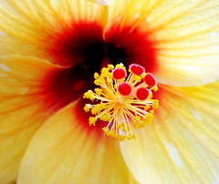 HIBISCUS (mam_jo) Tags: flowers red plant flower macro beauty yellow petals petal hibiscus colourful mumbai flowermacro jasvandi
