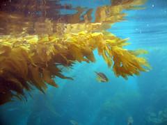 Kelp forest Avalon (neas) Tags: camping catalina losangeles snorkel scuba snorkeling socal catalinaisland kayaking avalon santacatalina avalondivepark catalinadivepark 2010vacation catatinaisland