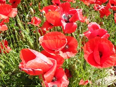 poppies (LolaBrun) Tags: flowers france flores nature fleurs may mai poopies amapolas narbonneplage champsdecoquelicots samsungpl50 poopiesfields coquelictots