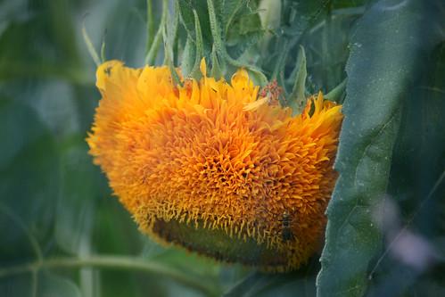 sunflower 101