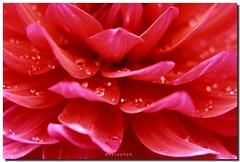 Dahlia petals (PHOTOPHOB) Tags: dahlia flowers autumn red summer plants plant flores flower color macro primavera nature fleur beautiful beauty sex fleurs petals spring colorful flickr estate blossom sommer herbst natur flor pflanze pflanzen blumen zomer verano bloom otoo blomma vero dalie t blume fiore blomst printemps asteraceae outono dahlias dalia lenz frhling bloem jesie floro kwiat dahlie lato lto sonbahar dahlien kvt blomman efterr blomsten fantasticflower dalio photophob