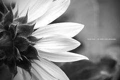 haired back (Stefan Lorse) Tags: summer blackandwhite sun detail macro germany hair deutschland back leaf sommer saxony sachsen sunflower blatt sonne rücken nahaufnahme haare sonneblume schwarzundweiss canonef28135isusm canoneos50d