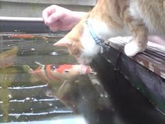 Kissing (janneke hermus) Tags: red orange fish water tom cat ginger big kat chat tommy koi katze karper kois kissingsweet