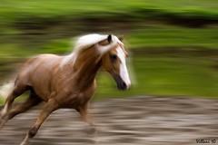 palomino 2 (Marco Villani) Tags: horse costa motion de caballos rica paso marco equine palomino fotoclub criollos costarricense villani