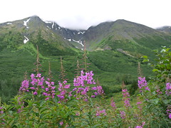 Alaska Landscape (J.P. EVERETT) Tags: road flowers cloud mountain snow mountains flower nature fog alaska creek landscape outside outdoors natural outdoor hill ak hills vista crow fireweed epilobium angustifolium