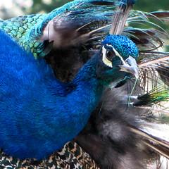 Angry peacock is angry
